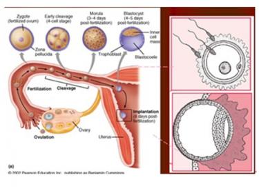 胚胎移植后多久才会着床呢?