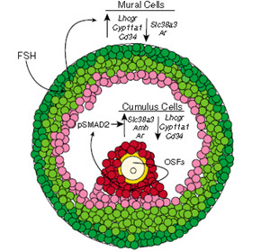 卵子的忠实伴侣——卵丘细胞